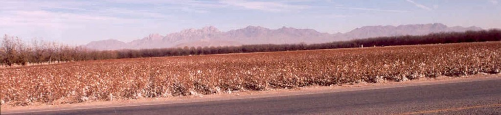 cotton field with organ mountains